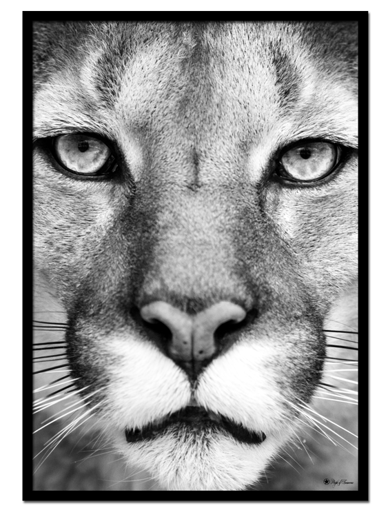"Puma poster | Black and white poster of a puma face. Combine with ""Lion"" and ""Tiger"" for the perfect gallery look."