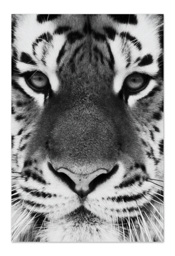 Tiger Art Card | Art doesn't have to be big to make a big impression. Our art cards are about the size of postcards, but they'll brighten up any room with their eye-catching designs. With a selection of unique art work printed on high quality paper, these are a versatile type of art for all sorts of occasions.