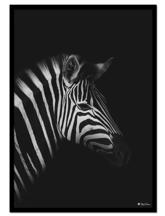 Zebra poster | Photo poster of a zebra on matte black background.